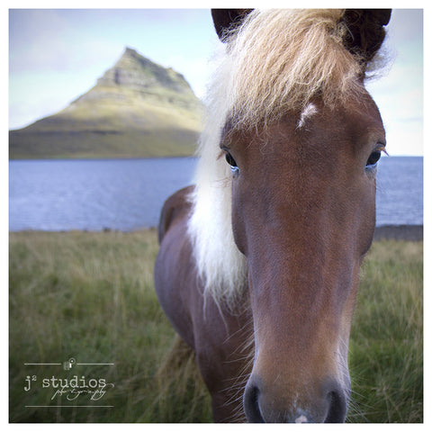 Hello In There! - Icelandic Horse Animal Photography Art Print