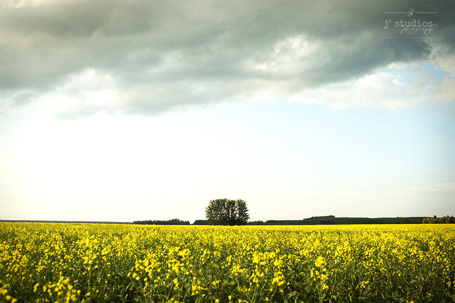 One Tree Field is an art print of a single tree alone in a golden yellow canola field in the Canadian Prairies. Landscape photography.