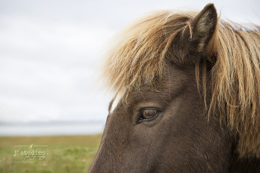 Close up and personal image of an Iceland Horse. Animal Photography.