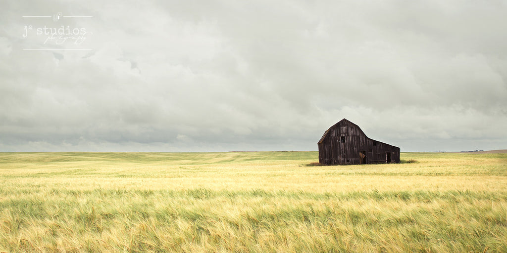 Prairie Dreams is an art print of vast wheat field blowing in the wind with a weathered barn. Alberta landscape photography.