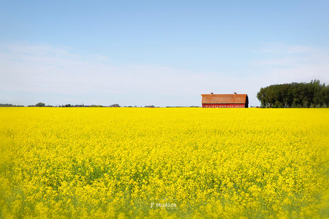 Stunning classic image of a red barn in golden field of Canola in rural Alberta near Edmonton. Canadian Prairies photography by renown photographer Larry Jang.