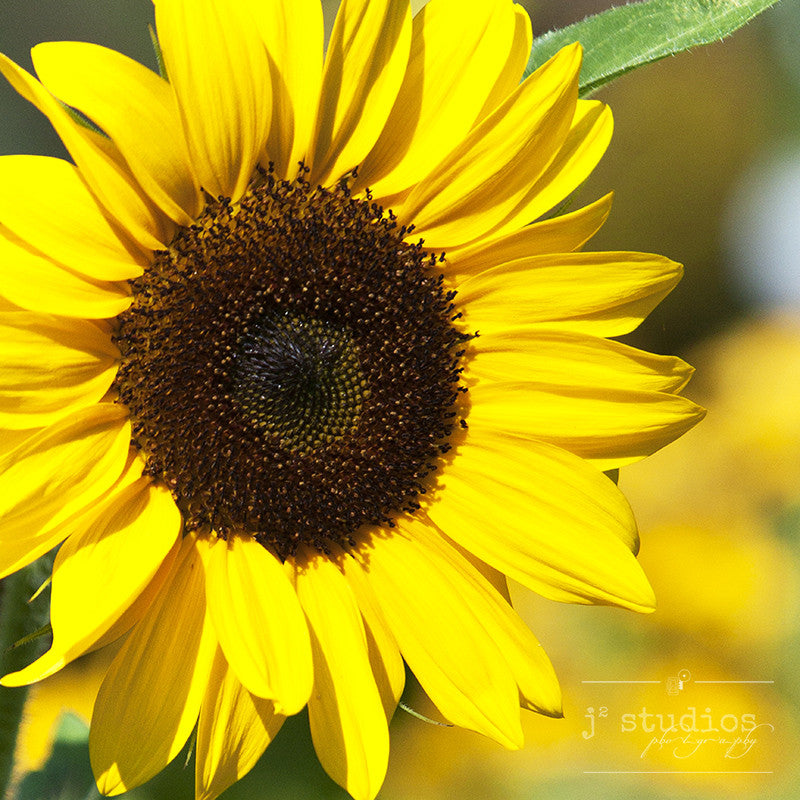 Sunflower - Nature Photography Art Print