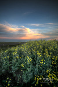 Summer Embers of Canola is an art print of a sunset on a canola field.