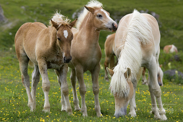 Threes Company - Mother Horse Foal Photography Art Print