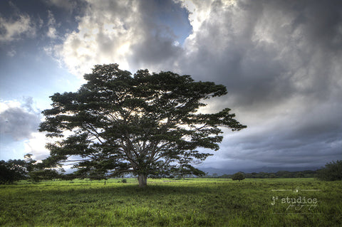 Tree of Life is an art print of a Acacia Koa tree sitting in the fields of the Hawaiian Island of Kauai. Hawaii landscape photography.