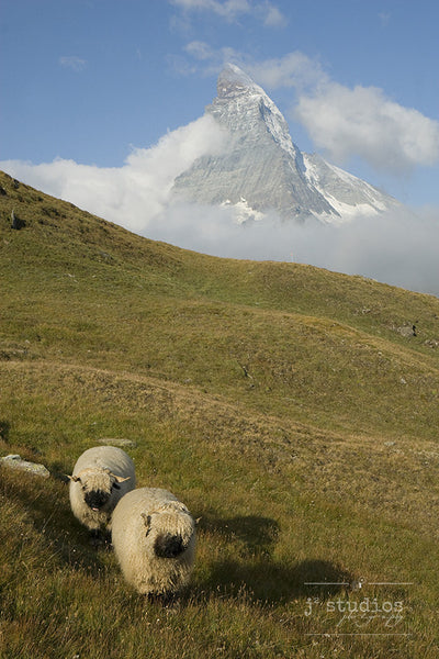 Wait for Me! #1 - Blacknose Sheep of Valais Switzerland Photography Art Print