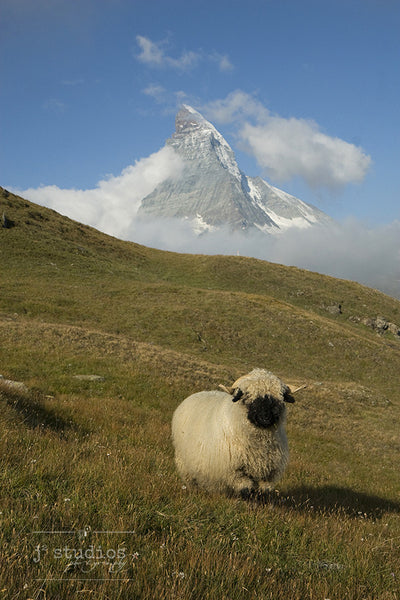 Wait for Me! #2 - Blacknose Sheep of Valais Switzerland Photography Art Print