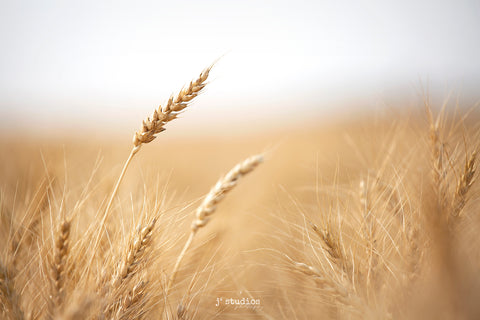 Soft intimate and sensitive image of a spiked wheat head blowing in the wind. Art prints by Edmonton photographer Larry Jang.