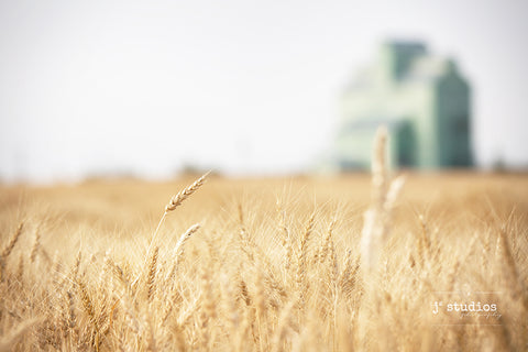 Intimate image of strands of wheat in a farmers field with a grain elevator blurred out in the background. Dreamy Canadian prairies photograph.