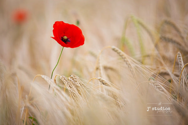 Art print of a red poppy in a barley field. Lest we forget. Poppy Barley. Flowers in bloom photography.