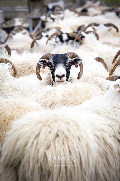 Art print with a message about being an individual. Stand up and be noticed. Sheep photography.