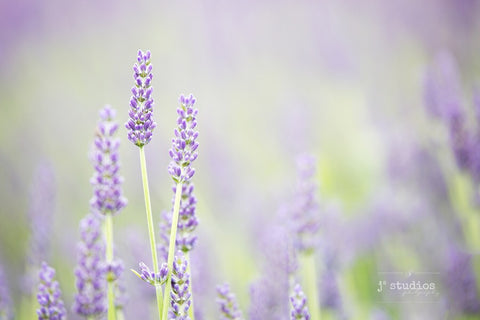 picture of purple lavender flowers and bracts. Fine Art Floral Photography.
