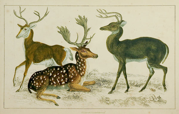 1860's Deer Engraving