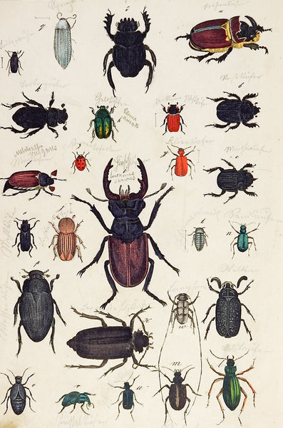 Hand Colored Insect Beetles Woodcut Print