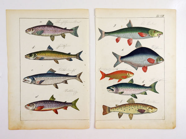 Pair Of Hand Colored Antique Fish Woodcut Prints