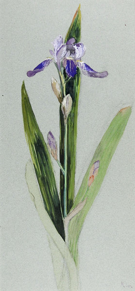Iris Watercolor Painting Circa 1920