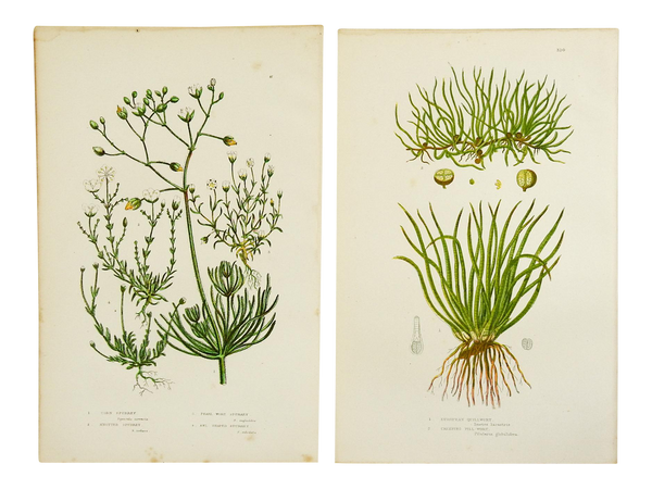Antique Botanical Grasses Lithograph - a Pair