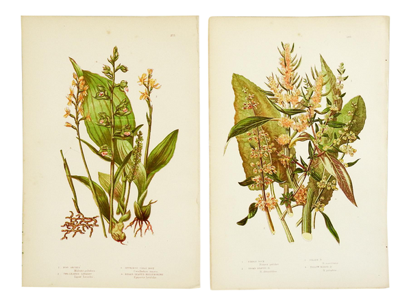 Pair of Antique Botanical Lithographs