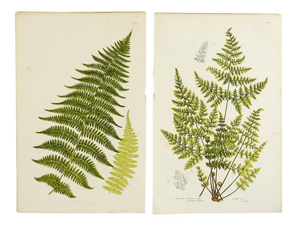 Antique Botanical Ferns Lithograph - a Pair