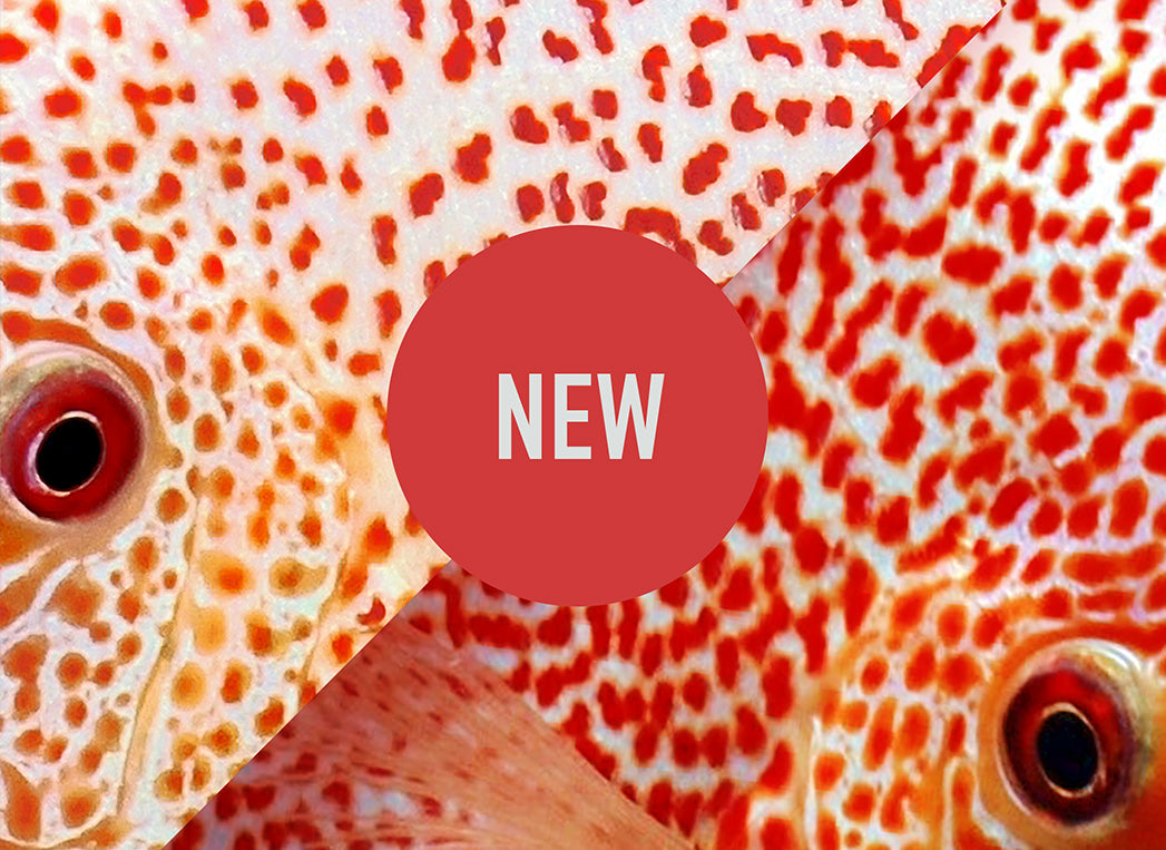 New Stendker Discus Fish