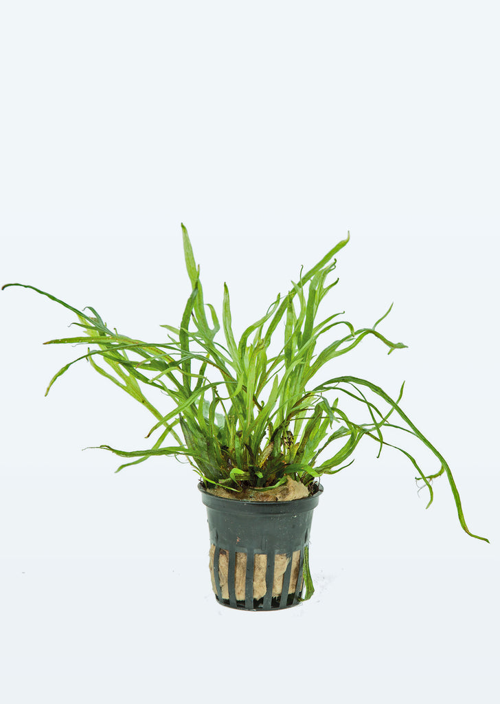 Microsorum pteropus 'Trident' plant from Tropica products online in Dubai and Abu Dhabi UAE