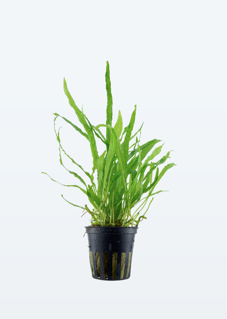 Microsorum pteropus 'Narrow' plant from Tropica products online in Dubai and Abu Dhabi UAE
