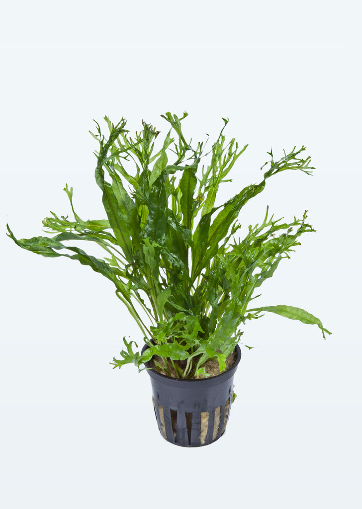 Microsorum pteropus 'Windeløv' plant from Tropica products online in Dubai and Abu Dhabi UAE