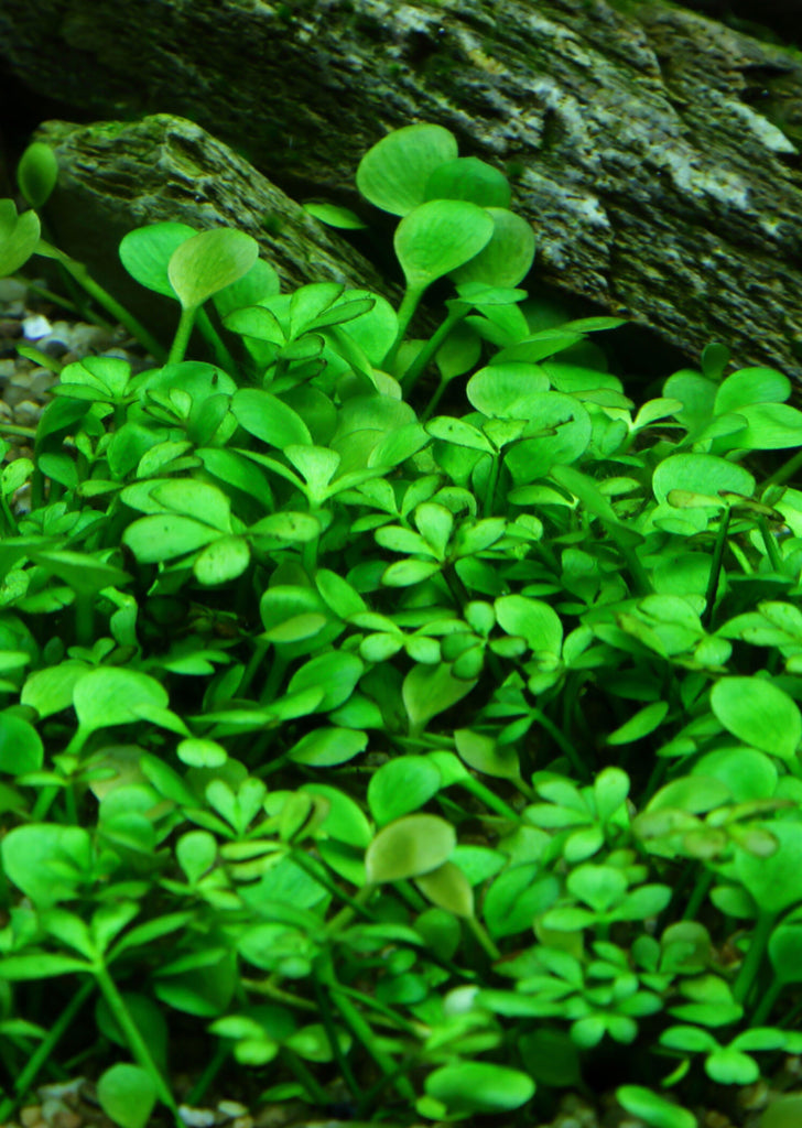 1-2-Grow! Marsilea hirsuta plant from Tropica products online in Dubai and Abu Dhabi UAE
