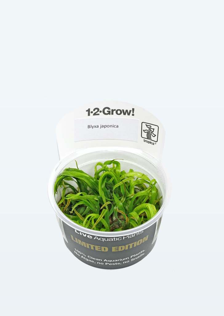 Limited Edition - 1-2-Grow! Blyxa japonica plant from Tropica products online in Dubai and Abu Dhabi UAE