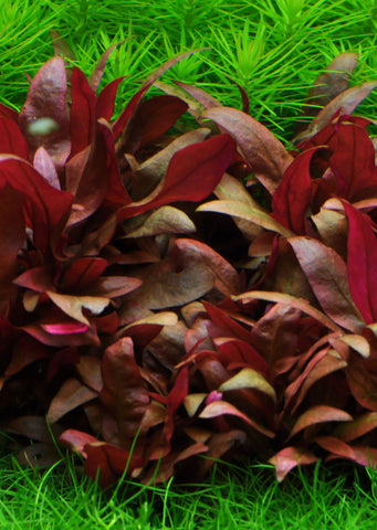 1-2-Grow! Alternanthera reineckii 'Mini' plant from Tropica products online in Dubai and Abu Dhabi UAE