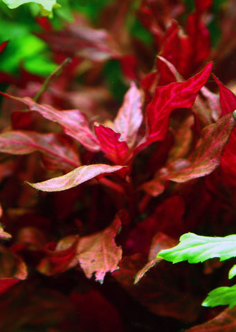 Alternanthera reineckii 'Rosanervig' plant from Tropica products online in Dubai and Abu Dhabi UAE
