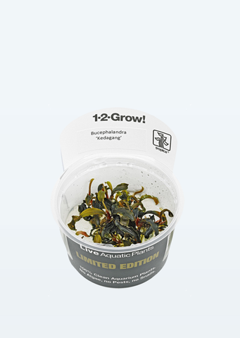 Limited Edition - 1-2-Grow! Bucephalandra 'Kedagang'