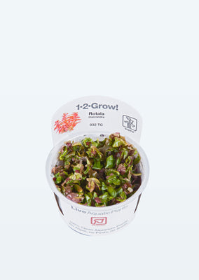 1-2-Grow! Rotala macrandra plant from Tropica products online in Dubai and Abu Dhabi UAE