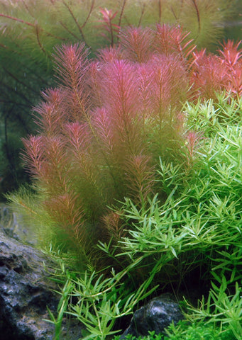 1-2-Grow! Rotala wallichii plant from Tropica products online in Dubai and Abu Dhabi UAE