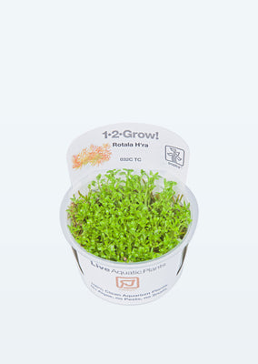 1-2-Grow! Rotala 'Vietnam H'ra' plant from Tropica products online in Dubai and Abu Dhabi UAE