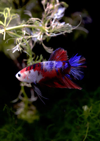 BETTA Giant Halfmoon