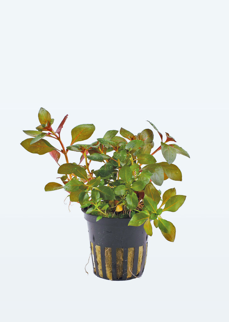 Ludwigia repens 'Rubin' plant from Tropica products online in Dubai and Abu Dhabi UAE