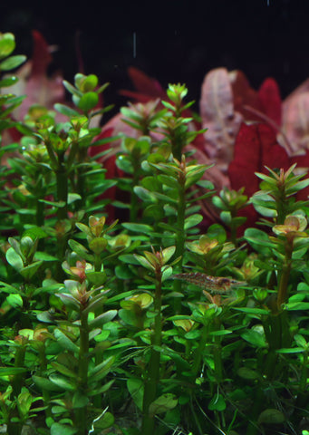 1-2-Grow! Rotala 'Bonsai'