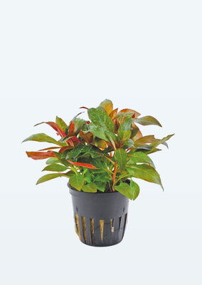 Ludwigia glandulosa plant from Tropica products online in Dubai and Abu Dhabi UAE