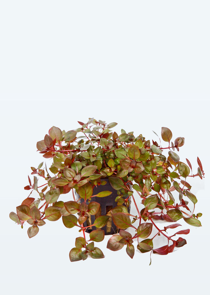 Ludwigia palustris plant from Tropica products online in Dubai and Abu Dhabi UAE
