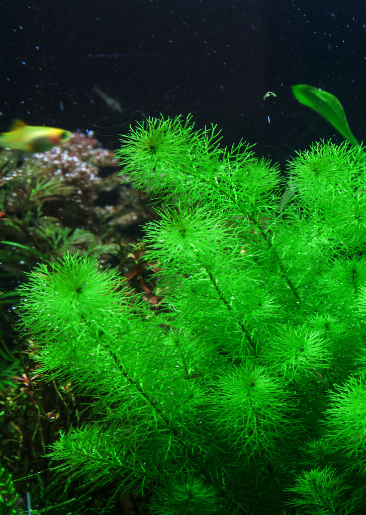 1-2-Grow! Myriophyllum 'Guyana' plant from Tropica products online in Dubai and Abu Dhabi UAE