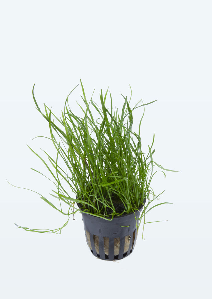 Lilaeopsis mauritiana plant from Tropica products online in Dubai and Abu Dhabi UAE