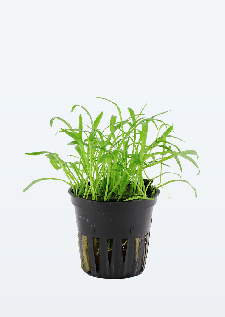 Lilaeopsis brasiliensis plant from Tropica products online in Dubai and Abu Dhabi UAE