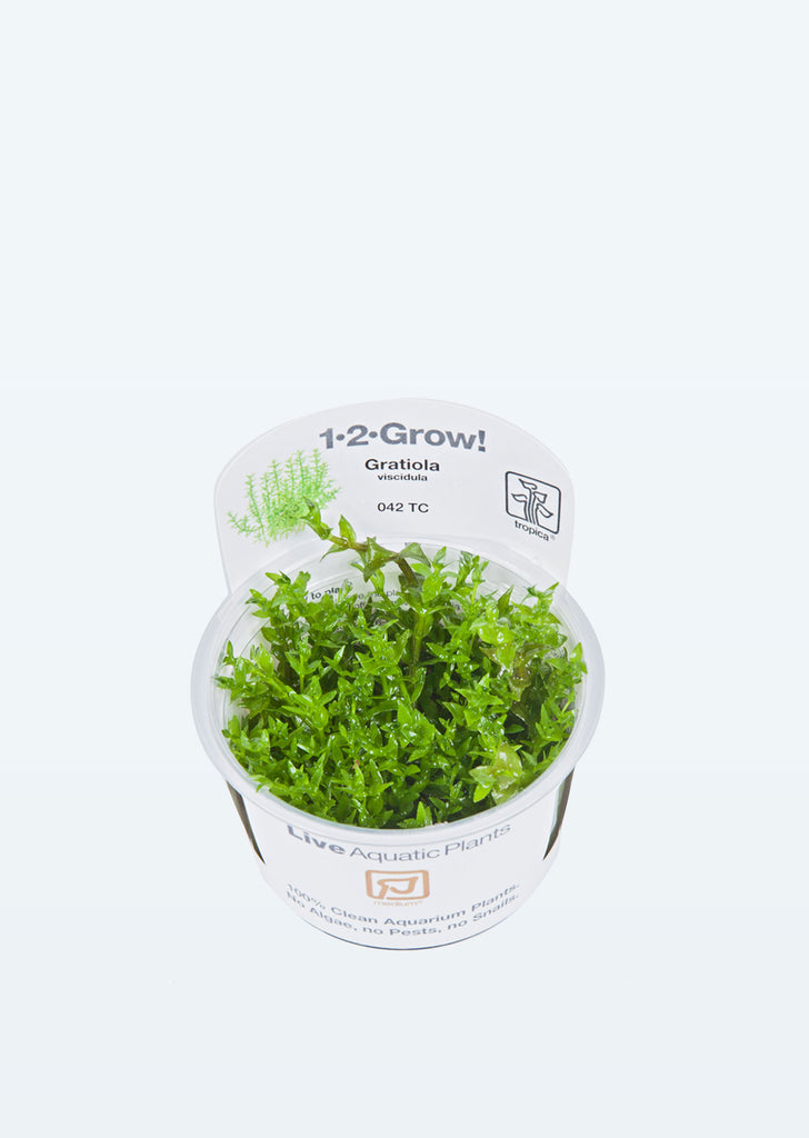 1-2-Grow! Gratiola viscidula