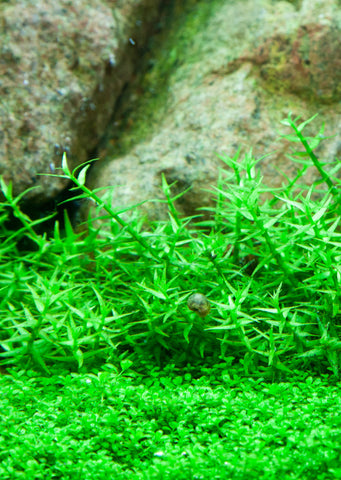 1-2-Grow! Gratiola viscidula plant from Tropica products online in Dubai and Abu Dhabi UAE