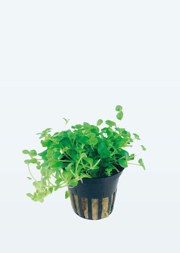 Bacopa australis plant from Tropica products online in Dubai and Abu Dhabi UAE