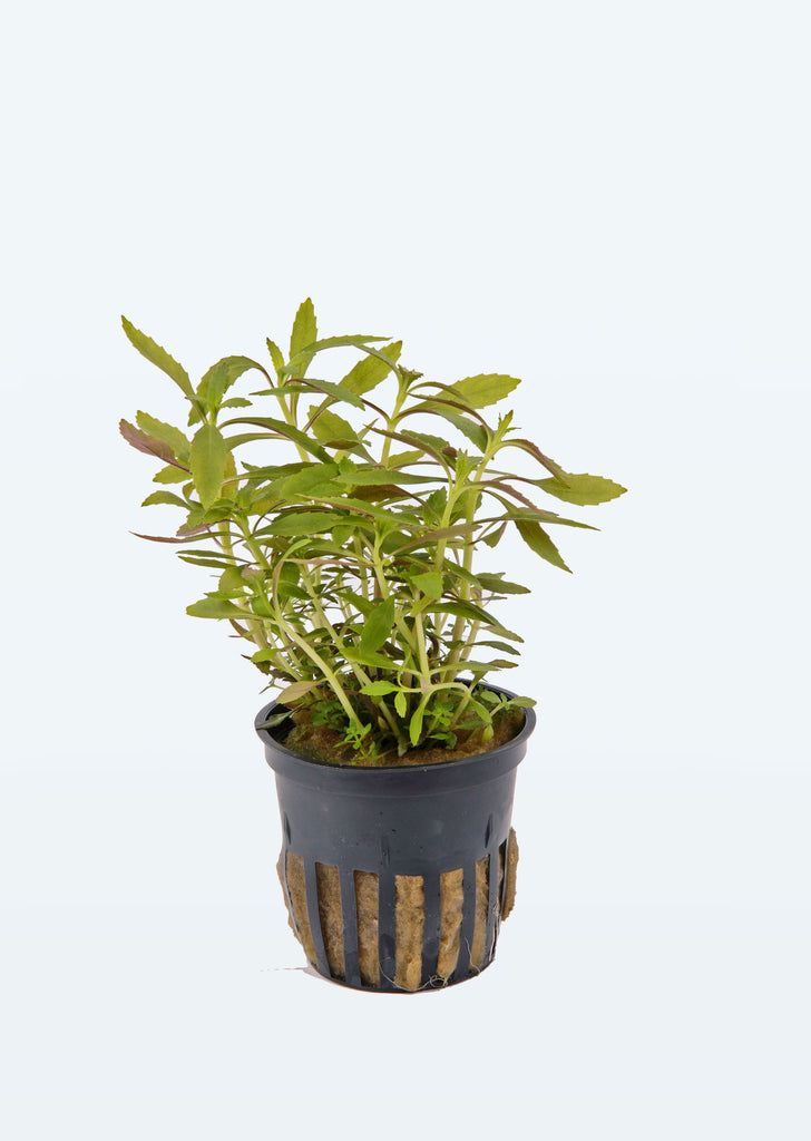 Limnophila hippuridoides plant from Tropica products online in Dubai and Abu Dhabi UAE