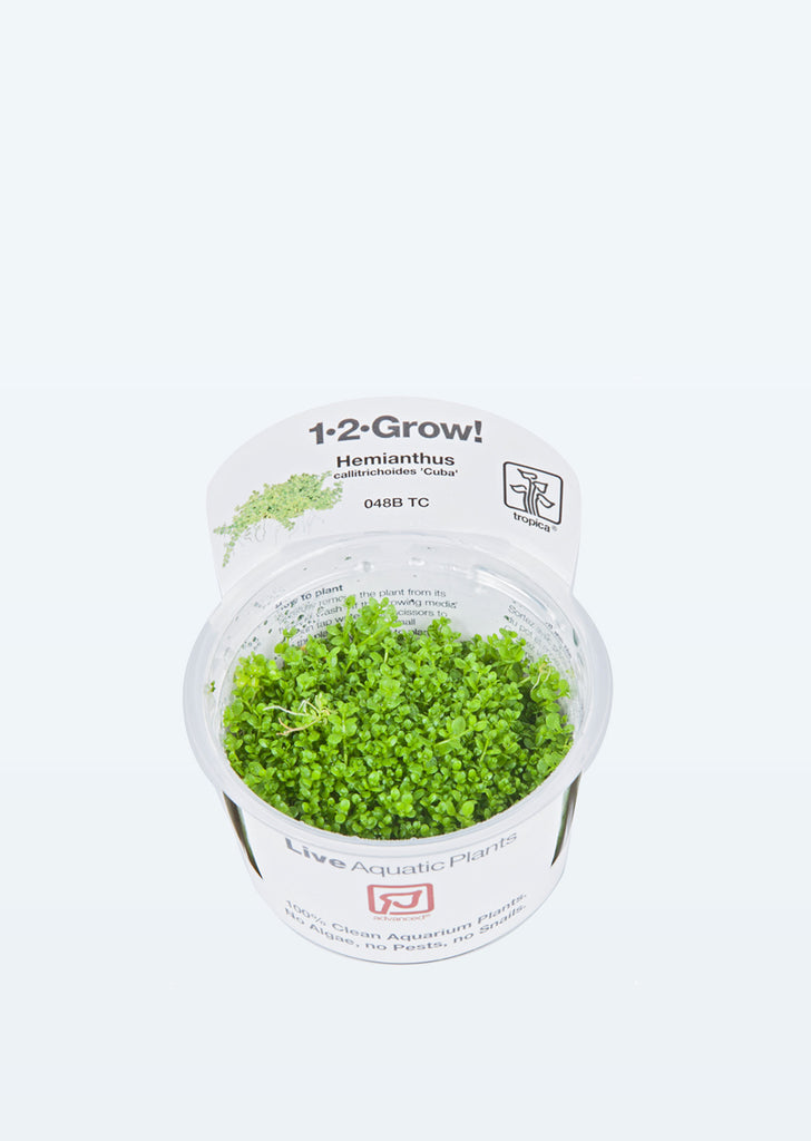 1-2-Grow! Hemianthus callitrichoides 'Cuba' plant from Tropica products online in Dubai and Abu Dhabi UAE