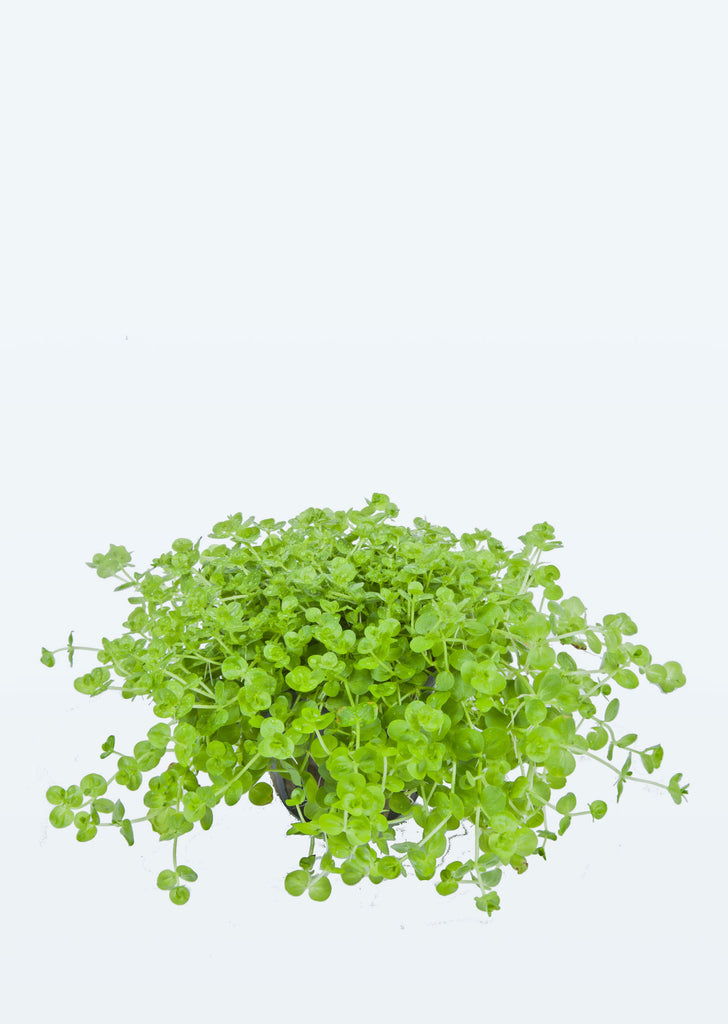 Hemianthus micranthemoides plant from Tropica products online in Dubai and Abu Dhabi UAE