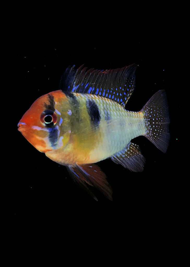 German Blue Ram (Special) tropical fish from Discus.ae products online in Dubai and Abu Dhabi UAE